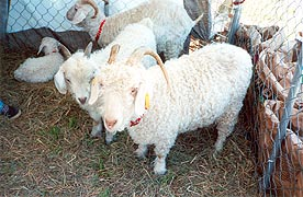 [photo, Sheep, Maryland Sheep and Wool Festival, Howard County Fairgrounds, West Friendship, Maryland]